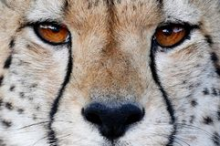 Cheetah Wild Cat Eyes. Close up of a Cheetah wild cat's striking brown eyes and black nose Royalty Free Stock Photo