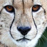 Cheetah Wild Cat Portrait Close Up Royalty Free Stock Images