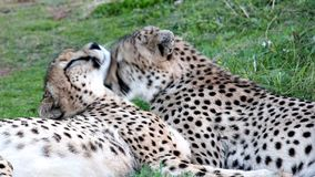 Cheetah Wild Cats Grooming. Zebras drinking water at a waterhole in the African wild stock video