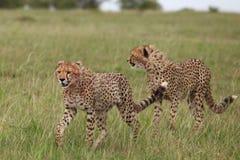 Cheetah. Wild cheetahs after hunting in Masai Mara national park Royalty Free Stock Photos