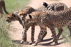 Cheetah. Wild cheetahs after hunting in Masai Mara national park Stock Image