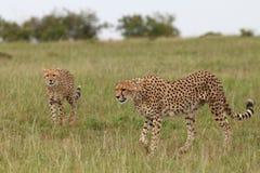 Cheetah. Wild cheetahs in Masai Mara national park Stock Image