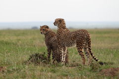 Cheetah. Wild cheetahs in Masai Mara national park Royalty Free Stock Image