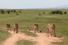 Cheetah. Wild cheetahs in Masai Mara national park Royalty Free Stock Photo