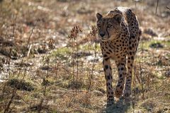 Cheetah in the wild Royalty Free Stock Images