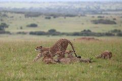 Cheetah. Wild family of cheetahs  in Masai Mara national park Stock Images
