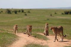 Cheetah. Wild family of cheetahs  in Masai Mara national park Royalty Free Stock Image