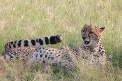 Cheetah. Wild cheetah after hunting in Masai Mara national park Stock Photos