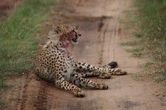 Cheetah. Wild cheetah after hunting in Masai Mara national park Royalty Free Stock Images