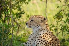 Cheetah in wild Keny Royalty Free Stock Photo