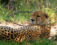Cheetah in wild Kenya Stock Photography