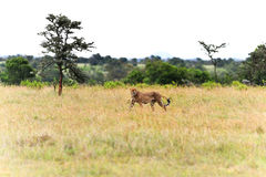 Cheetah in wild Kenya Royalty Free Stock Images