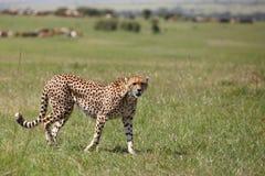 Cheetah. Wild cheetah in Masai Mara national park Royalty Free Stock Images