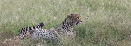 Cheetah. Wild cheetah in Masai Mara national park Royalty Free Stock Photo