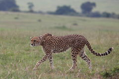 Cheetah. Wild cheetah in Masai Mara national park Royalty Free Stock Photos