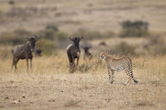 Cheetah with Wildebeests Stock Image