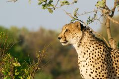 Cheetah in wilderness