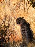 Cheetah, Wildlife, Mammal, Fauna Stock Photos