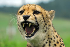 Cheetah - Wildlife Park. New Zealand Stock Photos