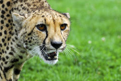 Cheetah - Wildlife Park Royalty Free Stock Image