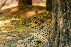 Cheetah. Wildlife Photography. Captured this cheetah in a forest last year Royalty Free Stock Photo