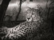 Cheetah, Wildlife, Terrestrial Animal, Black And White