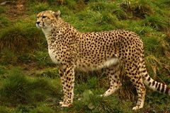 Cheetah the world`s fastest animal. Big cat fast lithe elegant and graceful all describe the stunningly beautiful Cheetah. Long tail helps with counter balance Royalty Free Stock Image