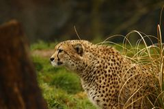 Cheetah the world`s fastest animal. Big cat fast lithe elegant and graceful all describe the stunningly beautiful Cheetah. Long tail helps with counter balance Royalty Free Stock Photo