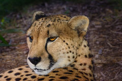 Cheetah  (Acinonyx jubatus) relaxing in the shade Stock Photos