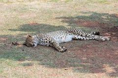 Cheetah (Acinonyx jubatus) resting in the shade Royalty Free Stock Images