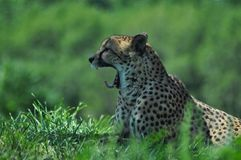 Cheetah Yawn Stock Photo
