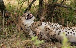 Cheetah yawn royalty free stock photos