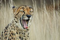 Cheetah yawning Royalty Free Stock Photos
