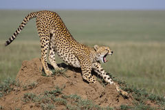 Cheetah yawning Stock Photography