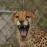 Cheetah yawning behind fence at game park. A Cheetah at a game park yawns casually during the day Stock Photos