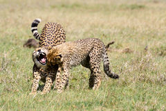 Cheetah yawning while cub looks in her mouth royalty free stock image