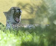 Cheetah yawning showing sharp teeth africa Stock Image
