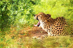 Cheetah Yawning in Woods Stock Images