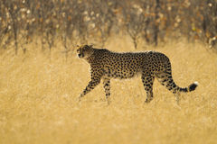 Cheetah in yellow grass. Cheetah walking through yellow grass Stock Images