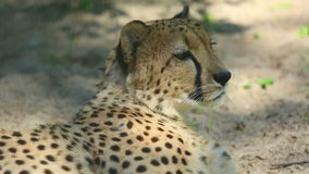 Cheetah stock footage