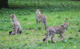 Cheetah youngs Royalty Free Stock Photos