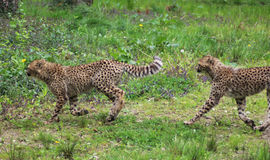 Cheetah youngs Royalty Free Stock Image