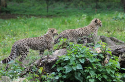 Cheetah youngs Stock Images
