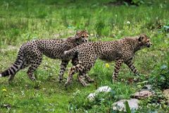 Cheetah youngs Royalty Free Stock Photography