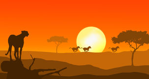 Cheetah and zebra in sunset. Cheetah watching running zebra in african sunset Royalty Free Stock Photography