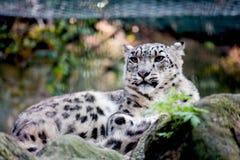 Cheetah at the zoo. A cheetah at the zoo Royalty Free Stock Photography