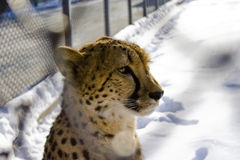 Cheetah in the zoo. Cheetah sitting in the cage in zoo, winter season Royalty Free Stock Photos