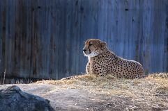 Cheetah in zoo Stock Images