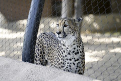Cheetah, Zoo Series. Cheetah staring out of cage Royalty Free Stock Photography