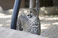 Cheetah, Zoo Series Royalty Free Stock Photography